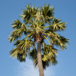 Sugar palm — Stock Photo
