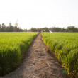 Rice and rice fields. — Stock Photo