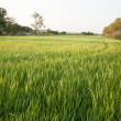 Royalty-Free Stock Photo: In the rice fields.