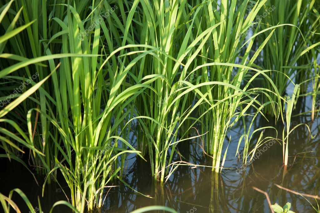 In the rice fields. Grains of rice in the rice fields. Bright green in the fields of nature. — Stock Photo #9552133