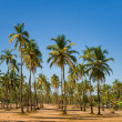 Coconut palm trees grove in India — Stock Photo