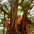 Big banyan tree with flags — Stock Photo