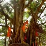Big banyan tree with flags — Stock Photo