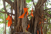 Big banyan tree with flags — Stock fotografie