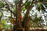 Indian man sitting near big banyan — Stock Photo
