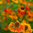 Orange ox-eye daisy — Stock Photo