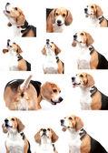 Beagle dog isolated on white background — Stock Photo