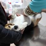 hond bij de dierenarts in het bereidingslokaal chirurgie — Stockfoto