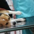 Dog at the vet in the surgery preparation room. — Stock Photo