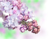 Lilacs in the spring — Stok fotoğraf