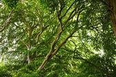 Beech tree — Stock Photo