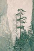 Pinus sylvestris — Stock Photo