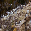 Common Murre — Stock Photo