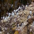 Stock Photo: Common Murre