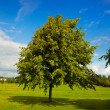 Lime tree in summer - Stock Photo