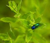 Chrysolina herbacea — Stock Photo