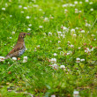 Song Thrush (Turdus philomelos) — Stock Photo #9325425