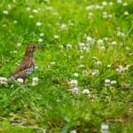 Song Thrush (Turdus philomelos) — Stock Photo