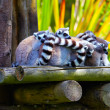 Ring-tailed lemurs — Stock Photo