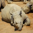 White Rhino resting in the sun — Stock Photo