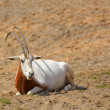 Oryx dammah - Stock Photo