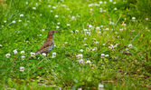 Song Thrush (Turdus philomelos) — Stock Photo