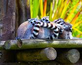 Ring-tailed lemurs — Stock Photo