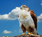 Buteo regalis — Stock Photo