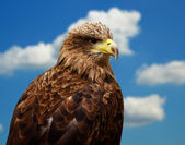 White-tailed Eagle — Stock Photo