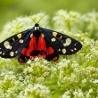 Scarlet Tiger moth — Stock Photo