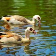 Egyptian Goose (Alopochen aegyptiacus) — Stock Photo
