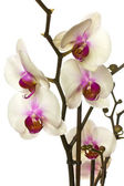 White orchid. — Stock Photo