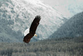 Flying Bald eagle. — Stock Photo