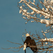 Bald eagle perched on tree — Stock Photo