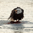Foto Stock: Bald Eagle feeding