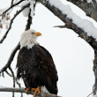Stock Photo: Bald eagle perched on branch