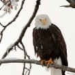 Bald eagle perched on branch — Stock Photo #8379603
