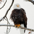 The shouting Bald eagle sits on a branch. — Stock Photo