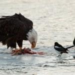 Bald Eagle feeding — Stock Photo