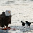 Bald Eagle feeding — Stock Photo #8379951