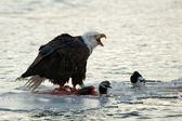 Bald Eagle feeding — Stock Photo
