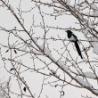 Stock Photo: Black-billed magpie (Pichudsonia) perched on tree