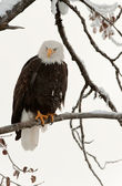 Bald eagle perched on branch — Stock Photo