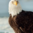 Close-up Portrait of Bald Eagle — Stock Photo