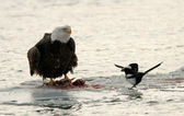 Eating Bald Eagle on snow with magpie. — Stock Photo