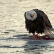 Shouting Bald Eagle eats salmon — Stock Photo