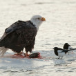 Stock Photo: Bald Eagle feeding