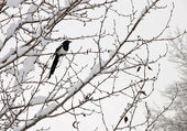 Black-billed magpie (Pica hudsonia) perched on a tree — Stock Photo