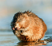 Eating Muskrat ( Ondatra zibethica ) — Stock Photo