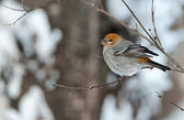 The Pine Grosbeak (female) — Stock Photo